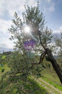 agricola la Dea olivi