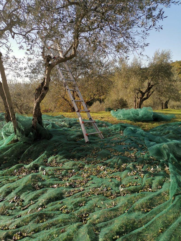 Olive agricola la dea raccolta 2020